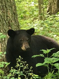 Perino & Stirewalt podcast: I'll tell you what…Bear alert!