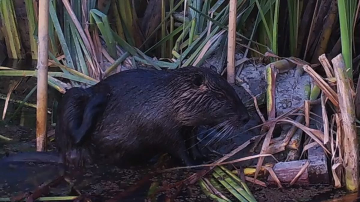 Check out the giant rodents overtaking the San Joaquin River Valley